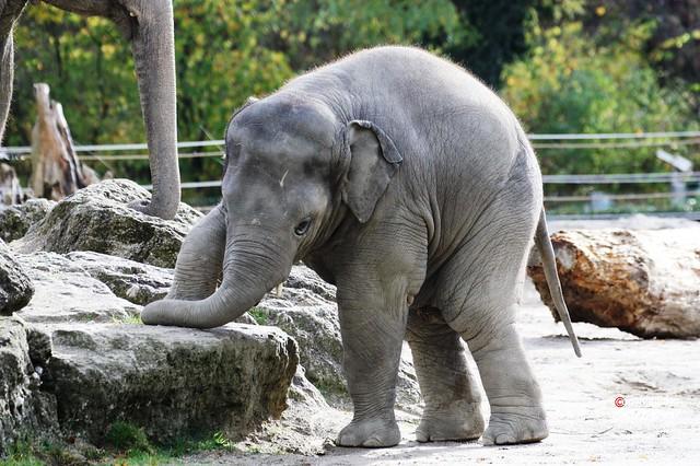 Asiatischer Elefantenjunge Ludwig 2013_10_30 021