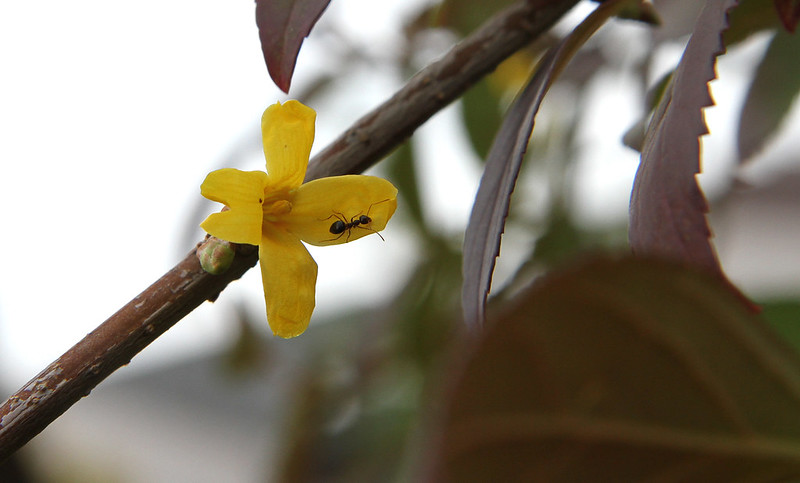 forsythia budding in October