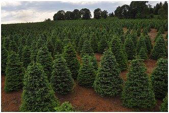 Oregon Christmas Trees.Christmas Tree Grower Branches Out Usda