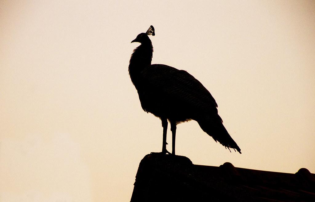 peacock_at_morning_crop