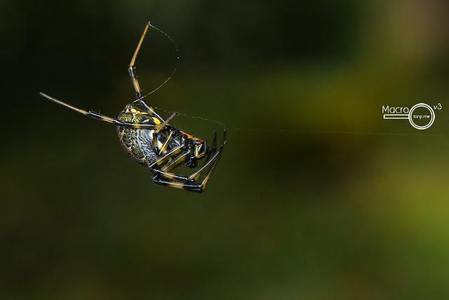 Nephilengys malabarensis  ♀