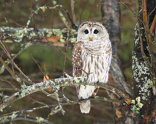 Barred owl, Woodstock, Vermont January 12th 2014