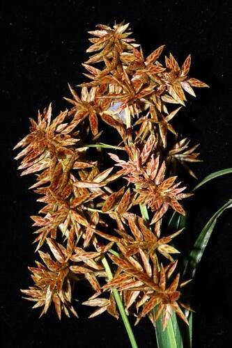 Cyperus javanicus DSC_0090