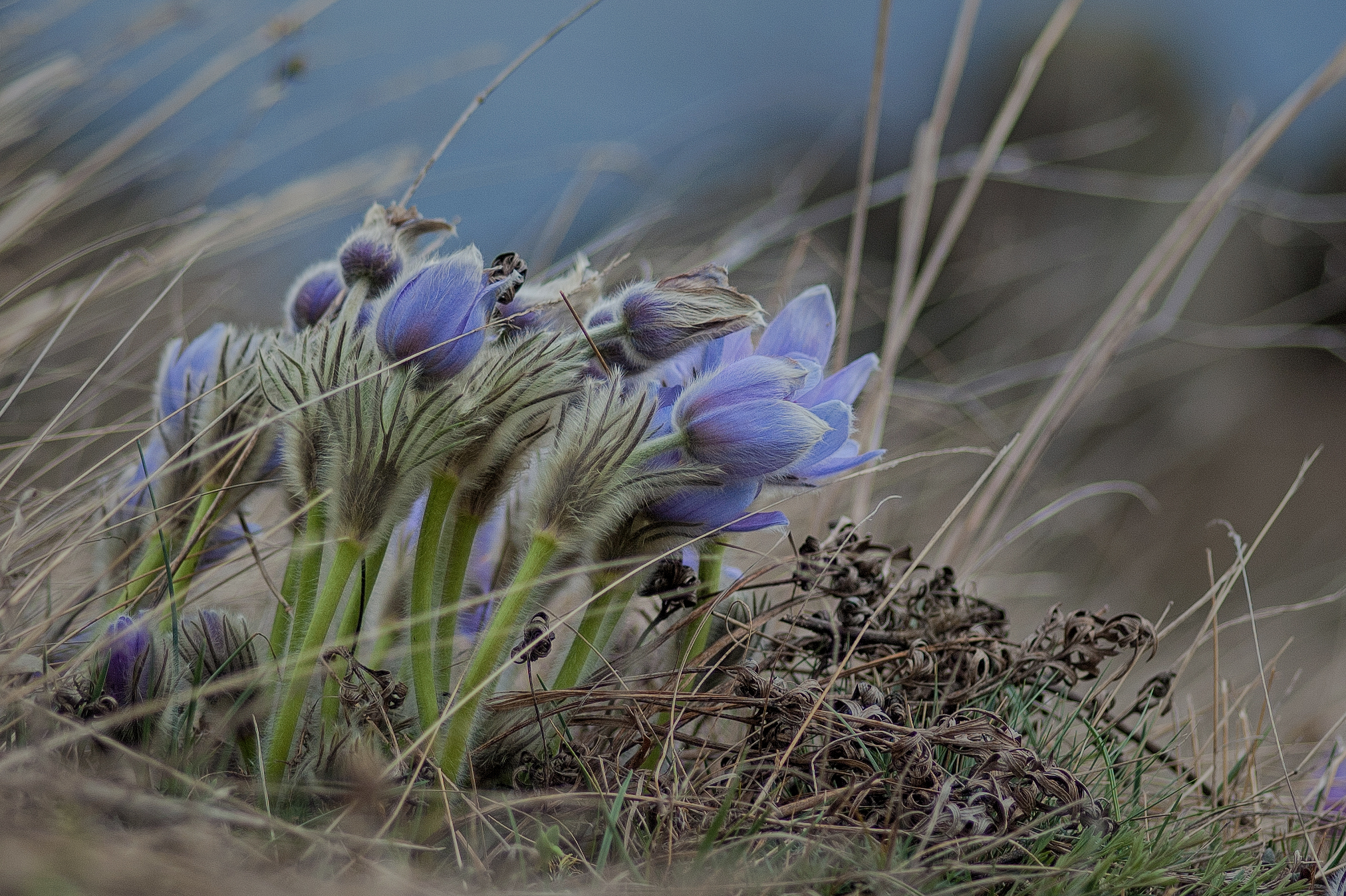 pasque flowers No2