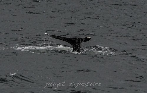 Fare Well Fin Gray Whale #383