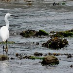 Little Egret in Millin Pill