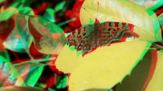 Comma butterfly - 3d movie clip - anaglyph