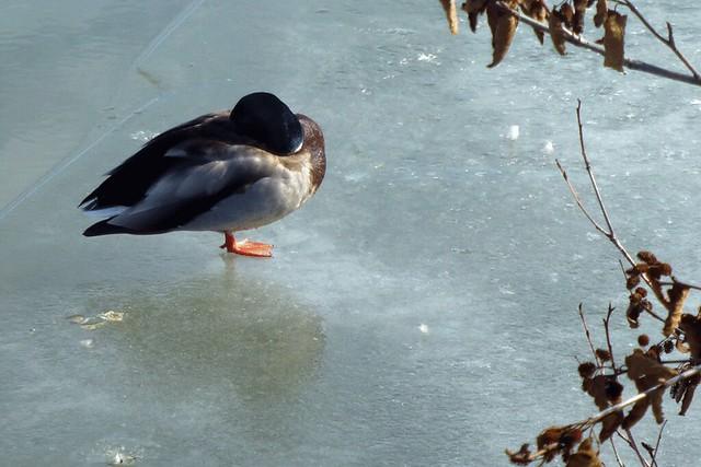 Monopod Duck
