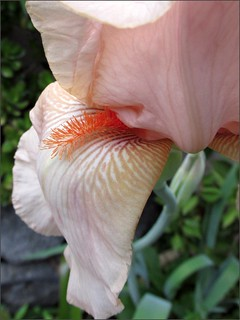 Bearded iris, close up
