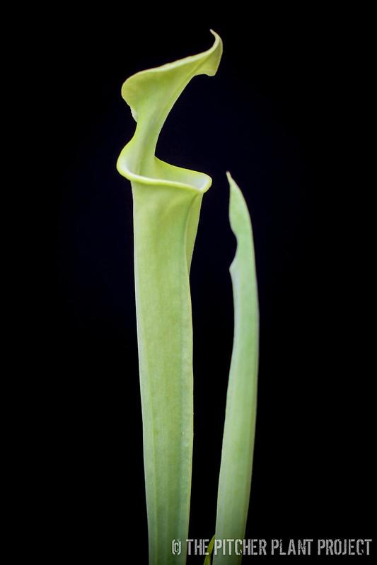 Sarracenia flava - Shallotte, Brunswick Co., NC