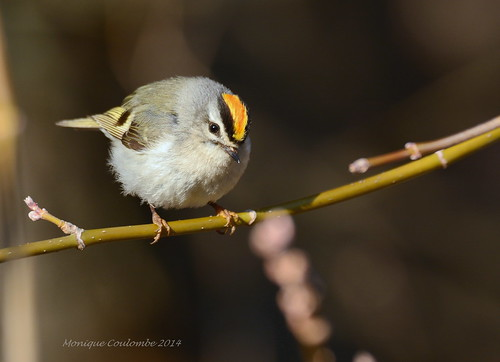 Roitelet à couronne dorée - Golden-crowned Kinglet