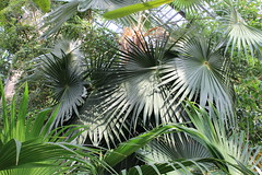arecales, borassus flabellifer, rainforest, leaf, tree, flora, forest, saw palmetto, elaeis, jungle, vegetation,