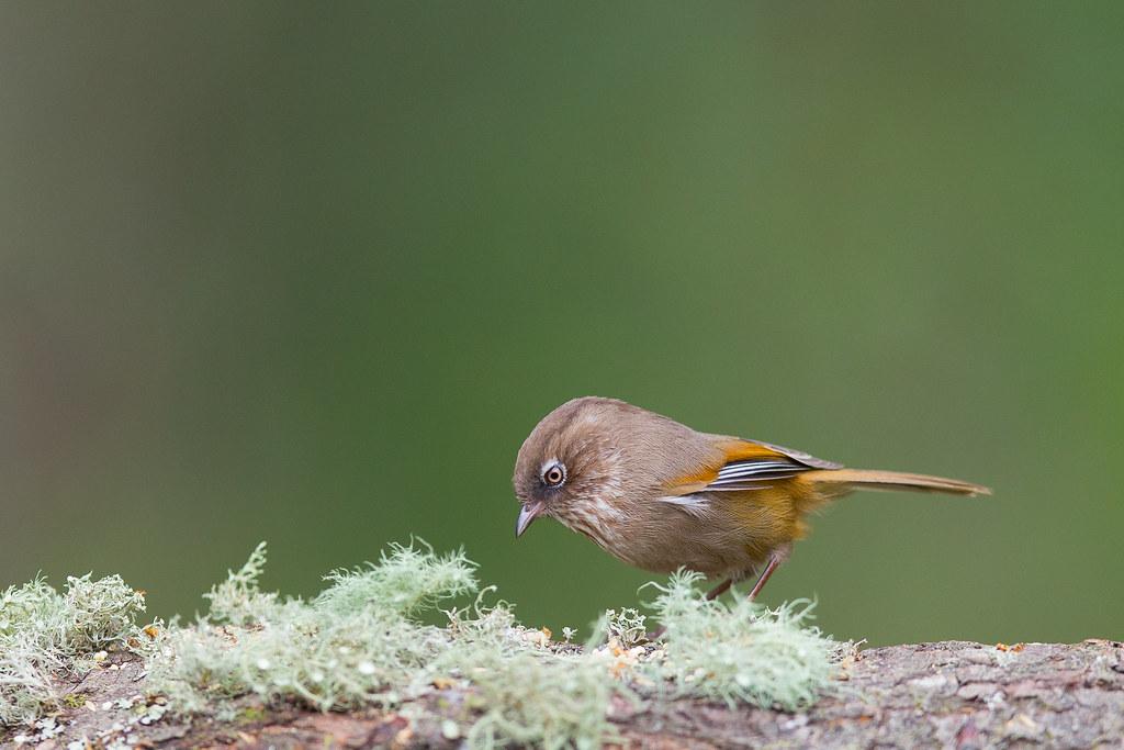褐頭花翼-1052