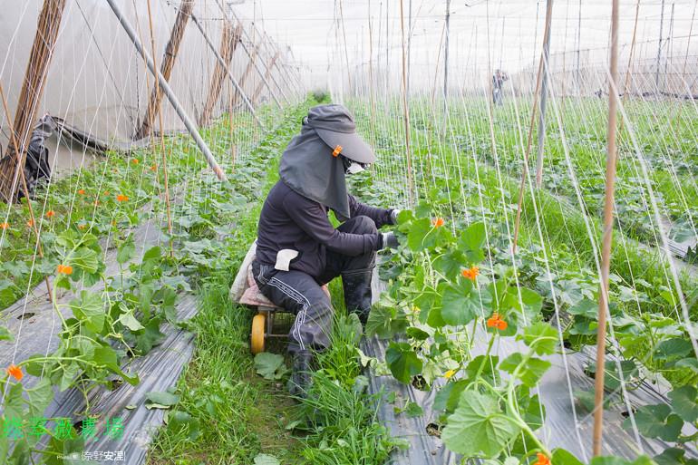 綠翠微農場--無毒美濃瓜 (6)