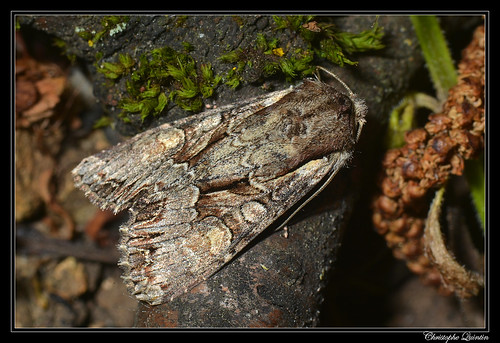 Noctuelle du genêt (Lacanobia w-latinum)