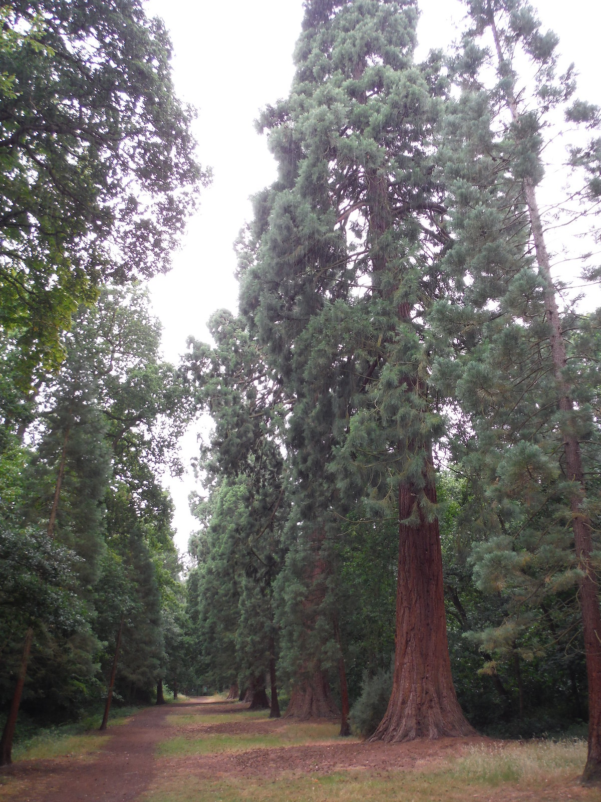Big Redwoods, Langley Park SWC Walk 189 Beeches Way: West Drayton to Cookham