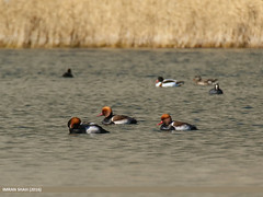 Red-crested Pochard (Netta rufina)