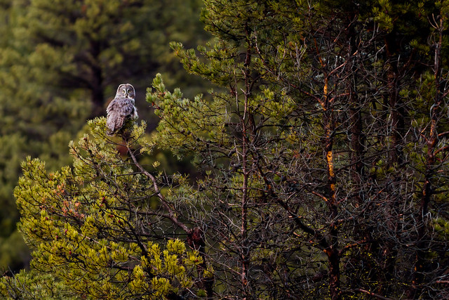 Great Gray Owl, Canon EOS 7D, Canon EF 300mm f/4L IS
