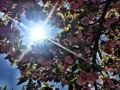 🌺 Spring! 🌺 #Latergram from Easter Sunday 🌺 Bethesda, Maryland 🌺 #pink #flower #pinkflowers #tree #sun #sunshine #afternoon #easter #eastersunday #maryland #bethesda #bluesky