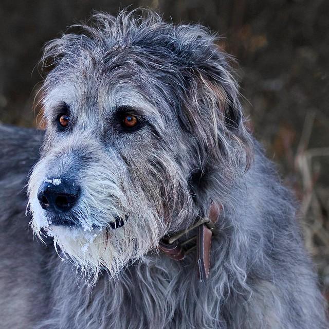 Irish Wolfhound Pictur...