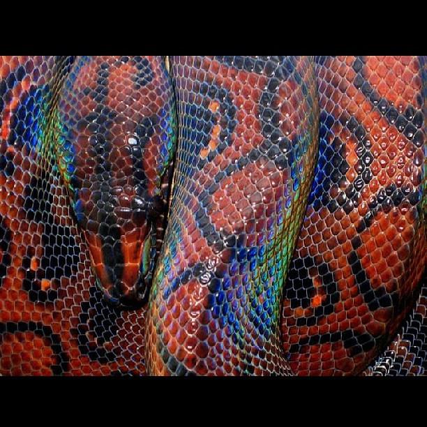 Brazilian Rainbow Boa  snakeBrazilian Rainbow Snake