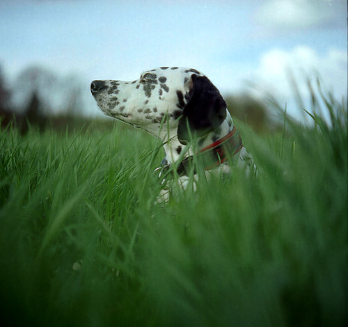 Maggie, the Croatian Dalmatian, lies, exceedingly well camouflaged for a black and white dog, in the long grass.