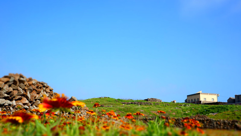 小門嶼的天人菊