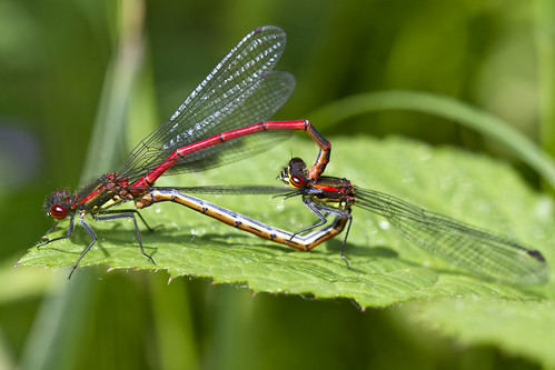 Mating Large Red Damselflies Pitstone Jun 2013