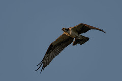 Osprey-46166.jpg by Mully410 * Images