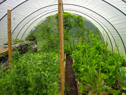 Early Summer in the Hoop House