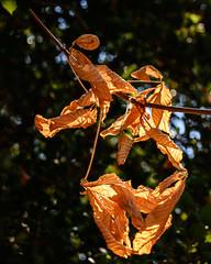 Backlit dead leaves