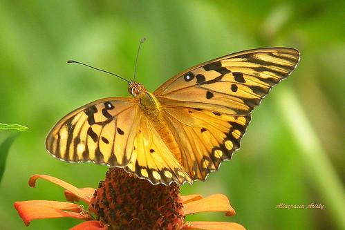 butterfly américa dominicanrepublic papillon borboleta tropic caribbean mariposa farfalla antilles laromana caribe gulffritillary repúblicadominicana agraulisvanillae caraïbe trópico antillas quisqueya altagraciaaristy volatineradelgolfo fujifilmfinepixhs10 fujihs10 fujifinepixhs10