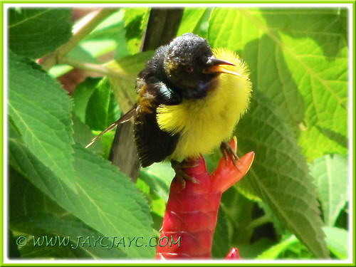 A brown-throated Sunbird perched on Costus woodsonii (cropped image)