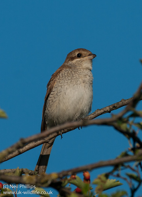 red backed shrike-4