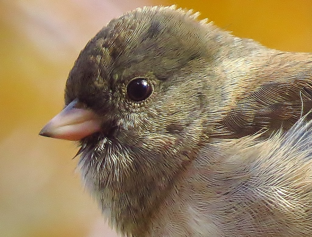 Catchlight-eyed Junco