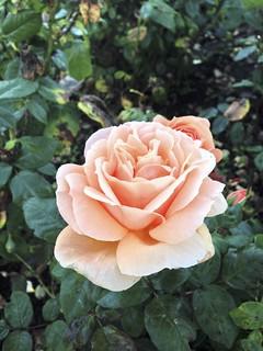 Rose, Dromoland Castle