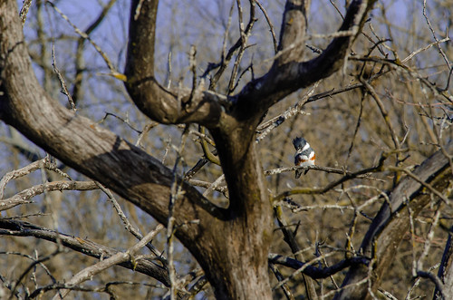 DSC_1398-AG - Belted Kingfisher - Hillsdale Lake - Hillsdale, Kansas