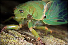 cicada - greengrocer