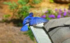 hummingbird(0.0), jay(0.0), pollinator(1.0), animal(1.0), flower(1.0), fauna(1.0), bluebird(1.0), bird(1.0),
