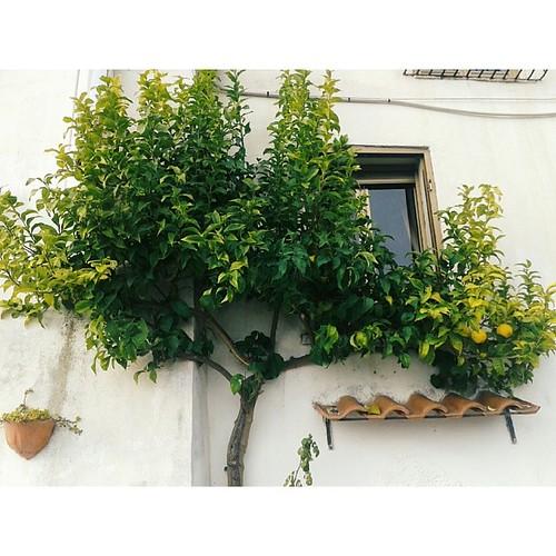 Il mio albero di limoni