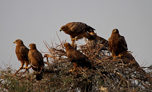 steppe and tawny eagles, Jorbeer, India