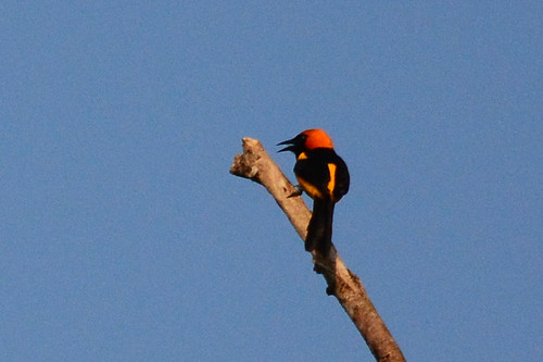 Panama: Orange-crowned Oriole