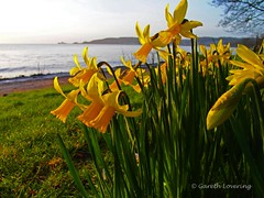 Daffodils in Swansea Bay 4th March 2014 (8)