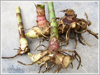 Rhizome pieces of Cheilocostus speciosus (Spiral/Crepe Ginger), used for propagating new plants, Feb. 22 2012