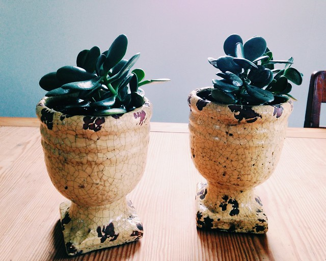 New houseplants (jade plants)