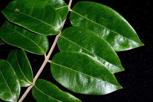 Palmeria hypotephra DSC_0318 (3)