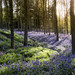 Blue bell wood dawn by RedEye00