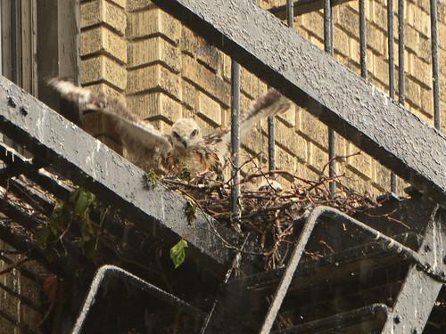 JHW Hawk Nest (0480)