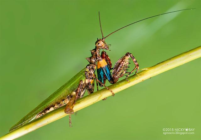 Mantis (Pachymantis sp.?) - DSC_4011