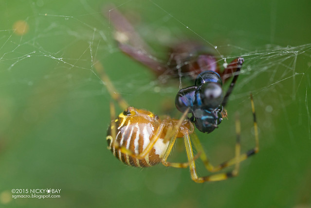 Comb-footed spider (Theridion sp.) - DSC_4576